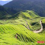 ارتفاعات کامرون مالزی | مزارع چای مالزی