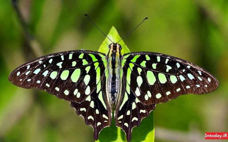 پارک پروانه کمنو بالی | kemenuh butterfly park