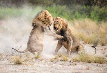 تصویر از عکس شیرهای آفریقای جنوبی در نشنال جئوگرافیک