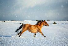 تصویر از عکس روز نشنال جئوگرافیک از کره اسب اسکاتلندی
