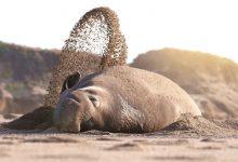 تصویر از عکس فیل دریایی امریکایی