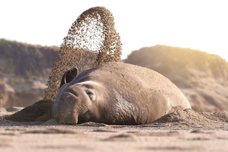 عکس فیل دریایی امریکایی