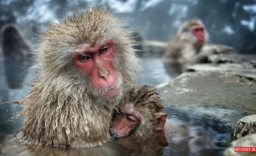تصاویر پارک میمون جیگوکودانی ژاپن
