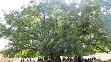 درخت گردوی فارسیان