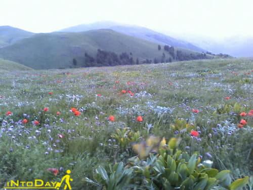 دشت گل گاوزبان در ییلاق سلانسر رودبار
