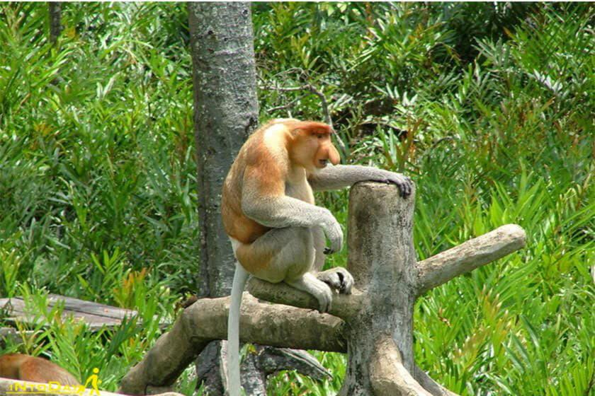 پناهگاه میمون دماغ دراز لابوک بای سانداکان مالزی